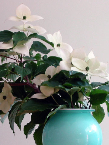 image of dogwood flowers in vase